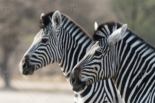 Side view of two Burchell's zebras (Equus burchellii), Kalahari, Botswana