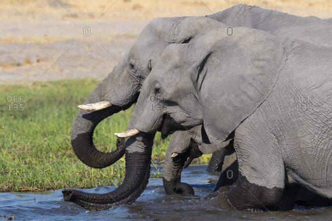 African elephants (Loxodonta africana) drinking in river Khwai, Khwai concession, Okavango delta, Botswana