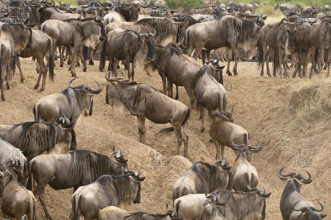 Herd of Wildebeest (Connochaetes taurinus), Masai Mara National Reserve, Kenya