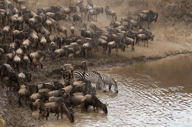 Wildebeest (Connochaetes taurinus) and Zebra (Equus quagga) drinking in river, Masai Mara National Reserve, Kenya