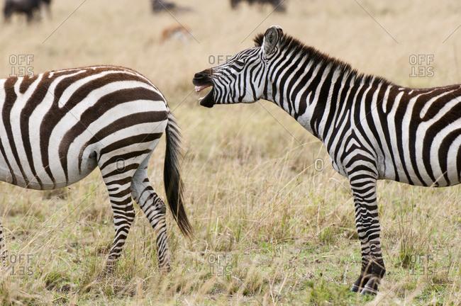 Zebra (Equus quagga) braying, Masai Mara National Reserve, Kenya