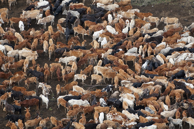 Herd of Masai cattle, Masai Mara National Reserve, Kenya