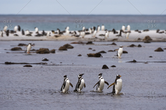 Gentoo penguins (Pygoscelis papua) colony on sandy beach, Falkland Islands