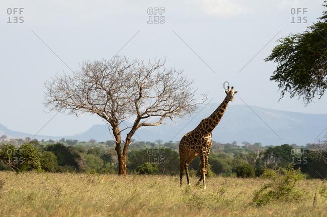 Giraffe (Giraffa camelopardalis), Tsavo East National Park, Kenya
