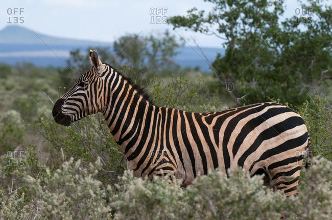 Grant's Zebra (Equus quagga boehmi), Lualenyi Game Reserve, Kenya
