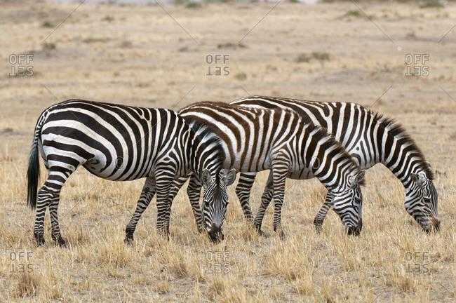 Zebra (Equus quagga), Masai Mara National Park, Kenya
