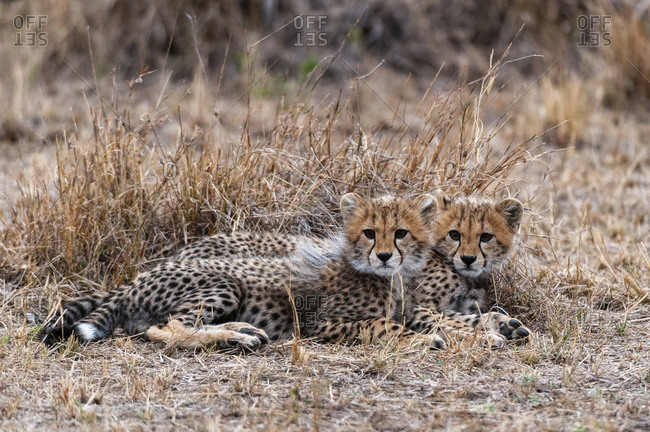 Cheetah (Acinonyx jubatus), Masai Mara National Park, Kenya