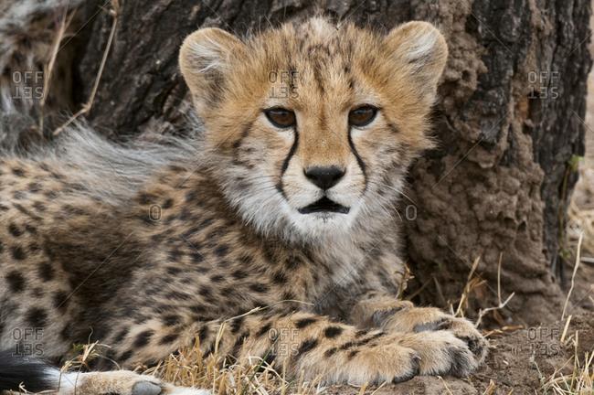 Cheetah cub (Acinonyx jubatus), Masai Mara National Park, Kenya