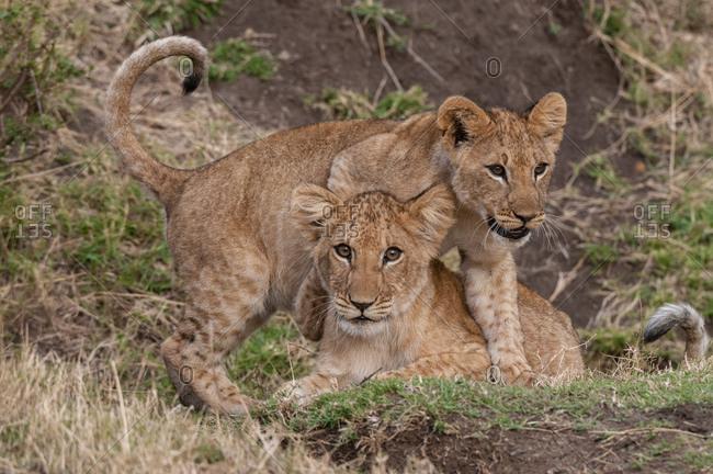 Lion cubs (Panthera leo), Masai Mara National Park, Kenya