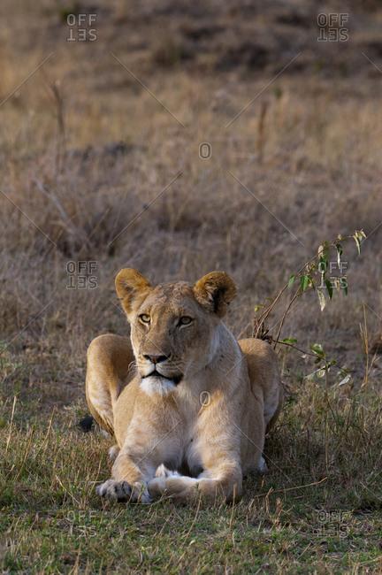 Lioness (Panthera leo), Masai Mara National Park, Kenya
