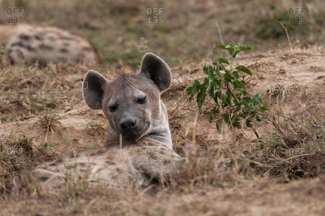 Spotted Hyena (Crocuta crocuta), Masai Mara National Park, Kenya