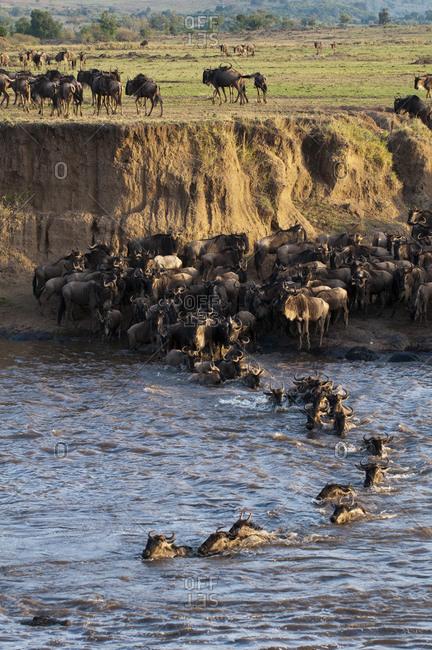 Wildebeest crossing Mara River during annual migration, Masai Mara National Park, Kenya