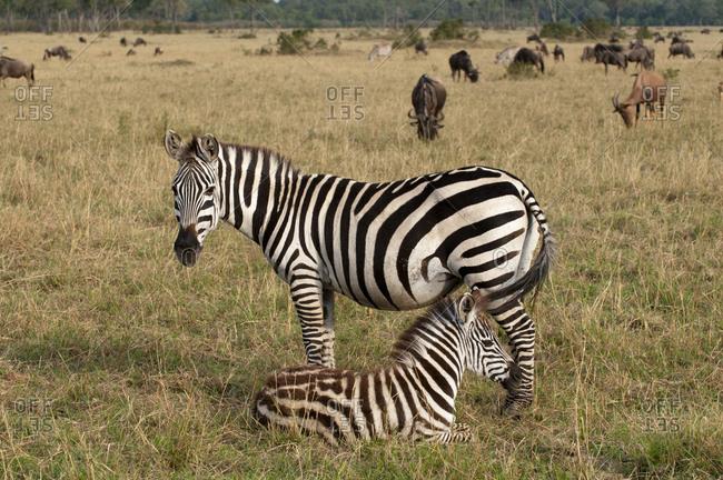 Zebra (Equus quagga) and calf, Masai Mara National Park, Kenya