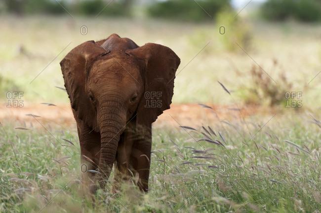 Elephant calf (Loxodonta africana), Tsavo East National Park, Kenya