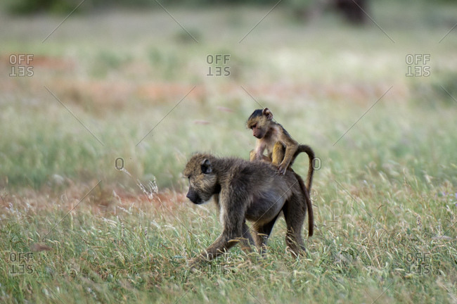 Yellow baboon (Papio hamadryas cynocephalus) and infant, Tsavo East National Park, Kenya