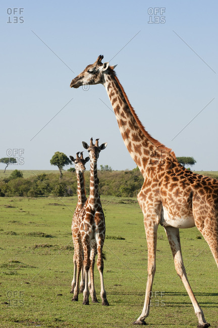 Giraffe (Giraffa camelopardalis) and calves, Masai Mara National Reserve, Kenya