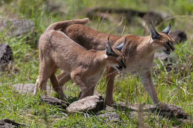 Caracal (Felis caracal), Masai Mara National Reserve, Kenya