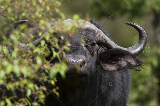 African Buffalo (Syncerus Caffer), Masai Mara National Reserve, Kenya
