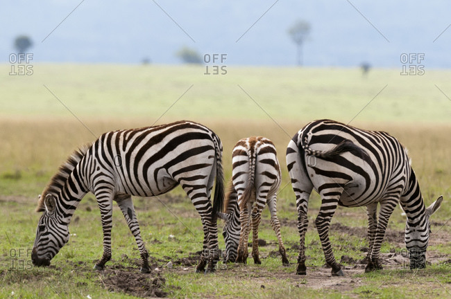Common Zebras (Equus quagga), Masai Mara National Reserve, Kenya