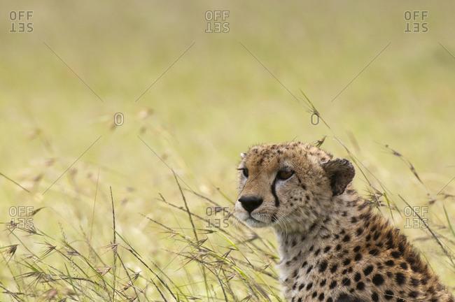 Cheetah (Acynonix jubatus), Masai Mara National Reserve, Kenya