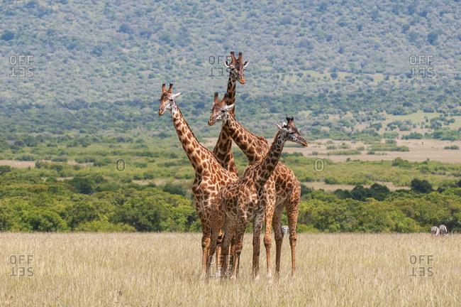 Masai Giraffe (Giraffa camelopardalis) and calves, Masai Mara National Reserve, Kenya