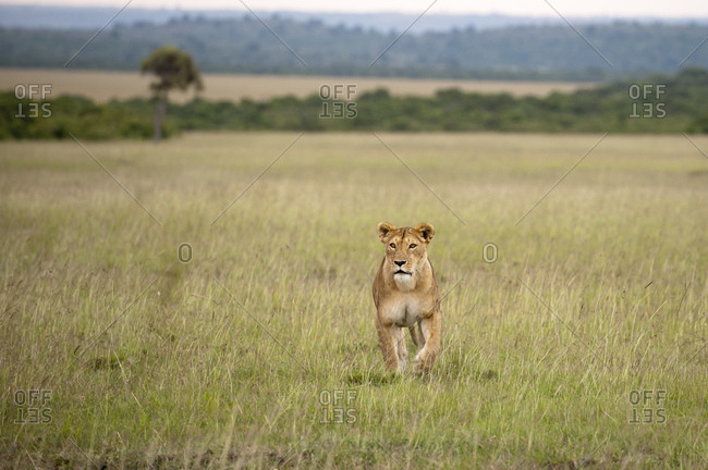 Lioness (Panthera leo), Masai Mara National Reserve, Kenya