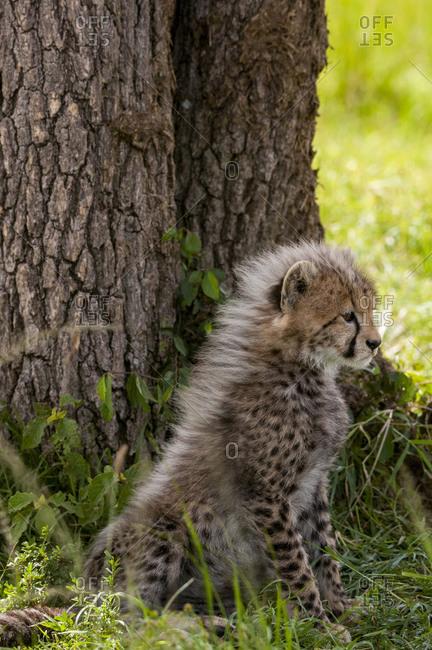 Cheetah cub (Acynonix jubatus), Masai Mara National Reserve, Kenya