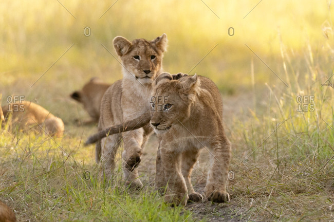 Lion cubs (Panthera leo), Masai Mara National Reserve, Kenya