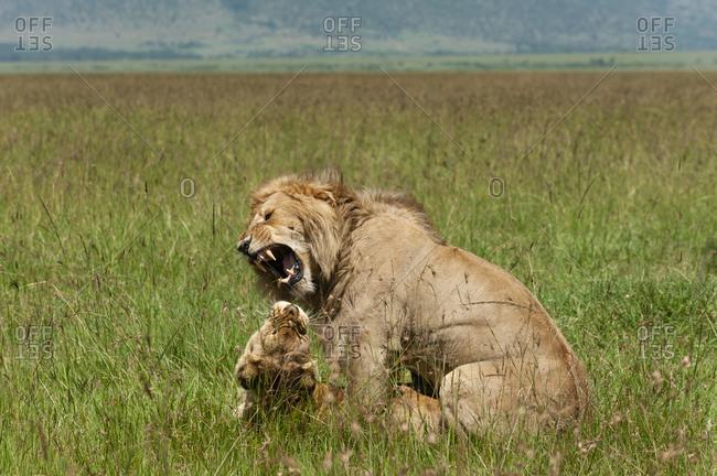 Lions mating (Panthera leo), Masai Mara National Reserve, Kenya