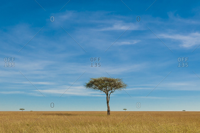 Acacia tree in field landscape, Masai Mara National Reserve, Kenya