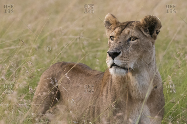 Portrait of lioness (Panthera Leo) in savannah, Masai Mara National Reserve, Kenya