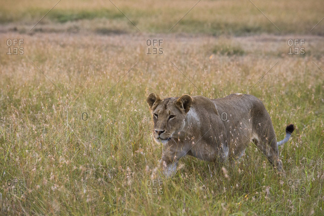Lioness (Panthera Leo) walking in savannah, Masai Mara National Reserve, Kenya
