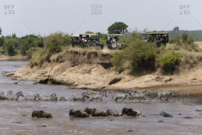 July 16, 2016: Tourist watching Grant's zebras (Equus quagga boehmi) and Blue wildebeest (Connochaetes taurinus) crossing Mara river, Masai Mara National Reserve, Kenya