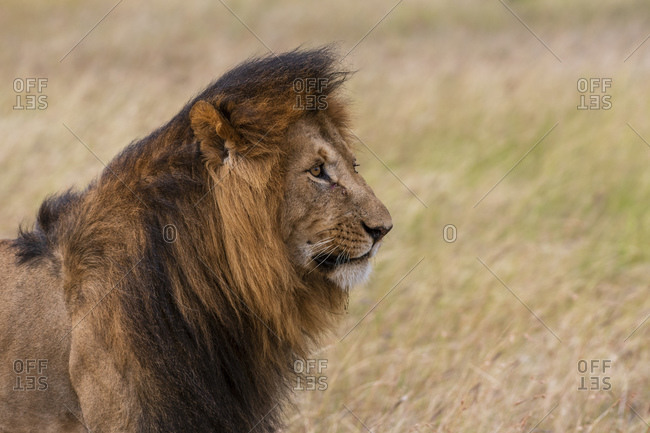 Portrait of male lion (Panthera Leo), Masai Mara National Reserve, Kenya