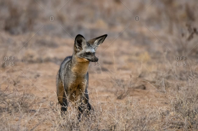 Bat-eared fox (Otocyon megalotis), Kalama Conservancy, Samburu National Reserve, Kenya