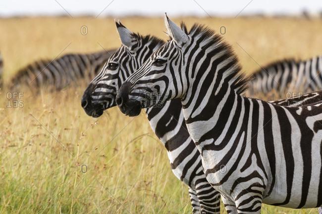 Plains zebras (Equus quagga), Masai Mara National Reserve, Kenya