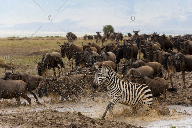 Blue wildebeest (Connochaetes taurinus) and Grant's zebras (Equus quagga boehmi), Masai Mara National Reserve, Kenya