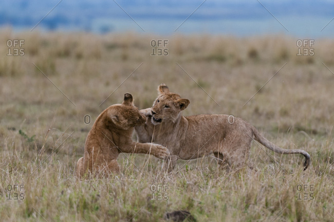 Lioness (Panthera leo) playing with cub, Masai Mara National Reserve, Kenya