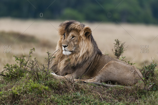 Lion (Panthera leo), Masai Mara National Reserve, Kenya