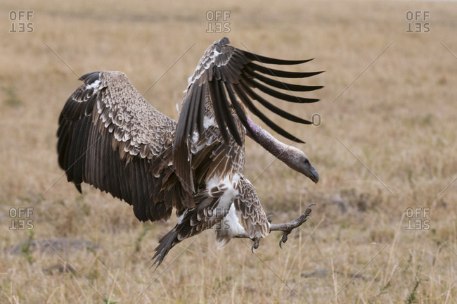 Vulture landing on grass, Masai Mara National Reserve, Kenya