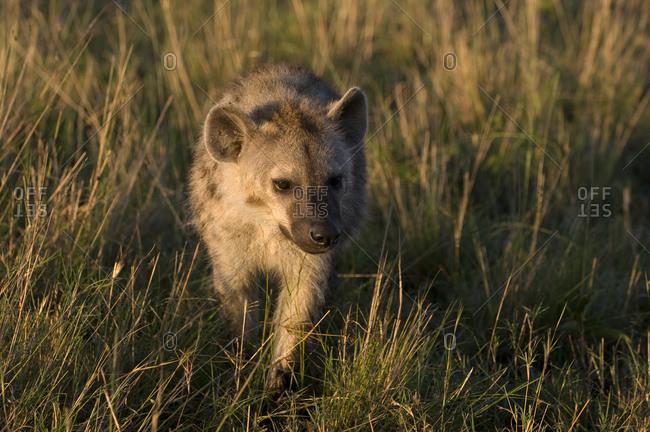 Spotted Hyena cub (Crocuta crocuta), Masai Mara National Reserve, Kenya