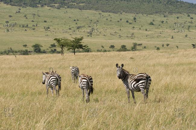 Common Zebra (Equus quagga), Masai Mara National Reserve, Kenya