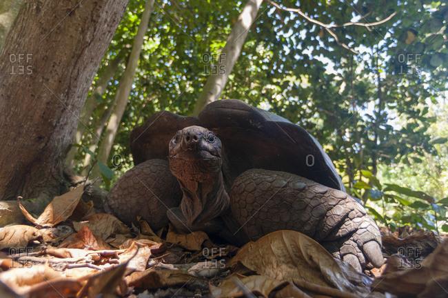 Aldabra tortoise (Dipsochelys dussumieri), Fregate Island, Seychelles