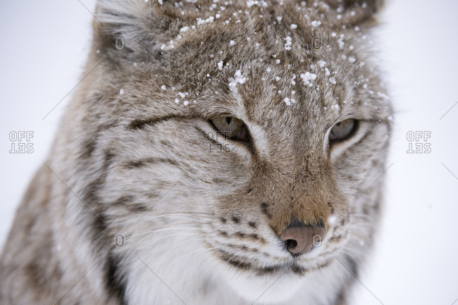 European Lynx (Lynx lynx),  Captive, Polar Park, Norway