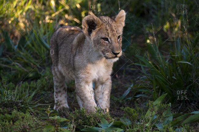 Lion cub (Panthera leo), Kariega Game Reserve, South Africa