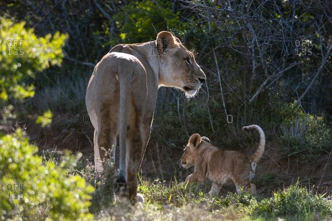 Lion (Panthera Leo) and cub, Kariega Game Reserve, South Africa