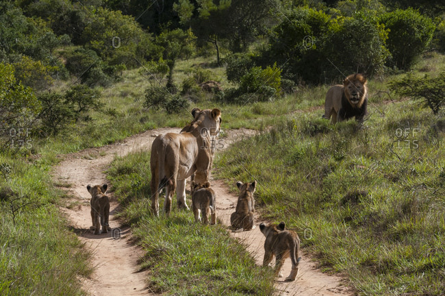 Family of lion (Panthera Leo) and cubs, Kariega Game Reserve, South Africa