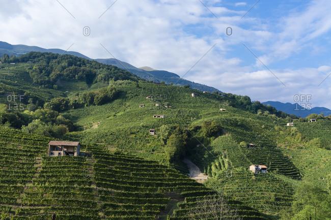 Prosecco Valdobbiadene vineyard, Colbertaldo, Veneto, Italy