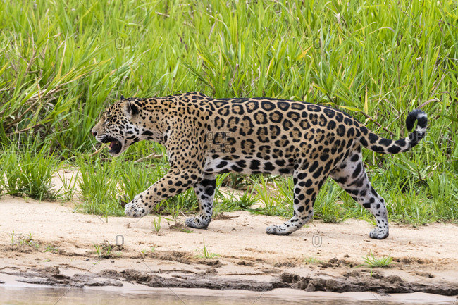 Jaguar (Panthera onca) walking on river bank, Pantanal, Mato Grosso, Brazil