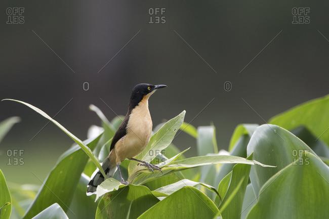 Black-capped Donacobius (Donacobius atricapilla), Pantanal, Mato Grosso, Brazil